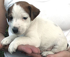 Jack Russell male puppy