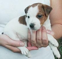 Jack Russell girl puppy