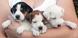 girl Jack Russell pups
